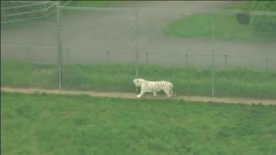 Un tigre atacó y mató a su cuidadora en un zoológico de Inglaterra