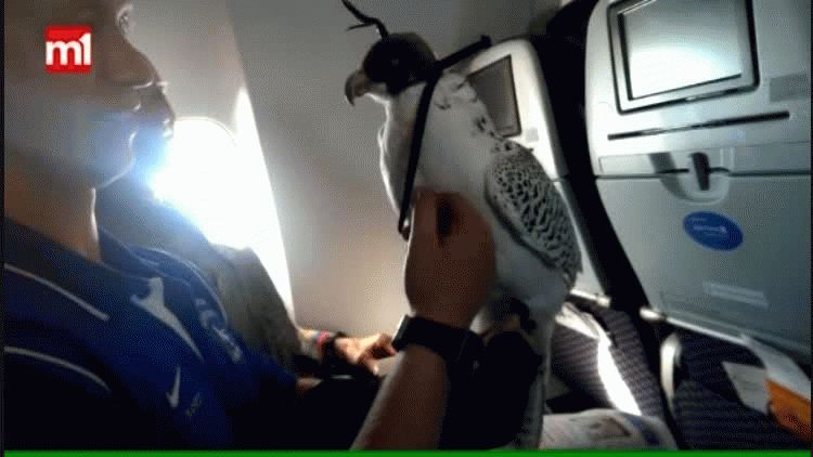 Es común ver en Medio Oriente a halcones en aviones