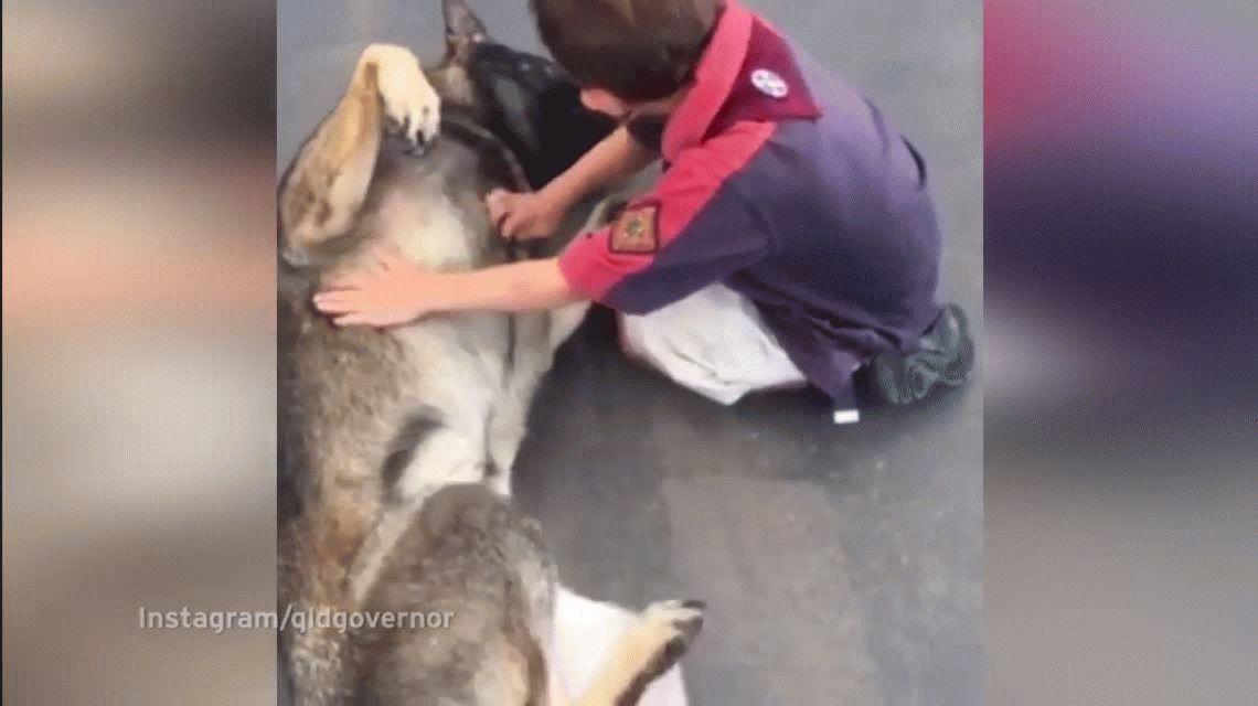 Gavel, el cachorro que no pudo ser policía porque era manso