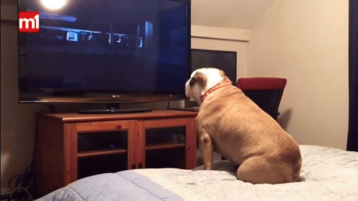 VIDEO: La curiosa reacción de un bulldog al ver un película de terror