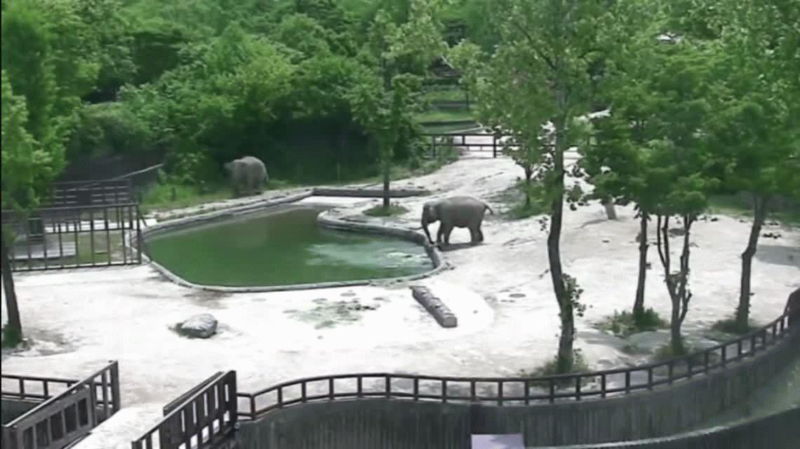 VIDEO: Dos elefantes salvan a su cría que cayó al agua