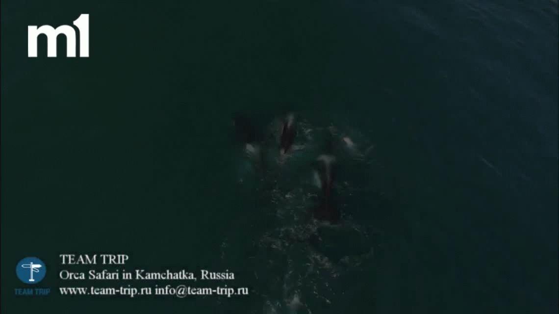 VIDEO: Orcas asesinas persiguen y matan a una ballena