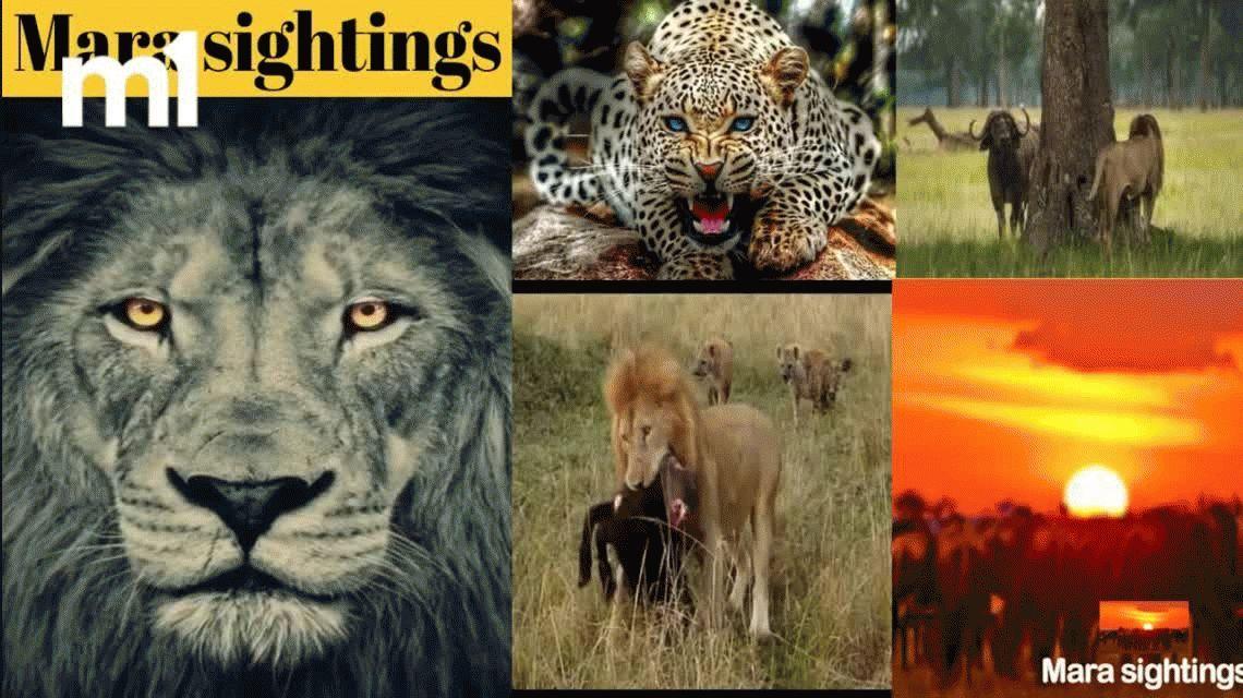 VIDEO: Un león quiso atacar a un hipopótamo y terminó mal