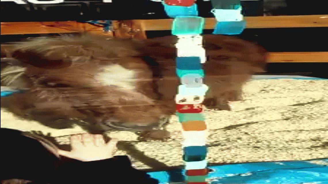 Crueles: exhibieron un poni en una mueblería de Palermo por el Día del Niño