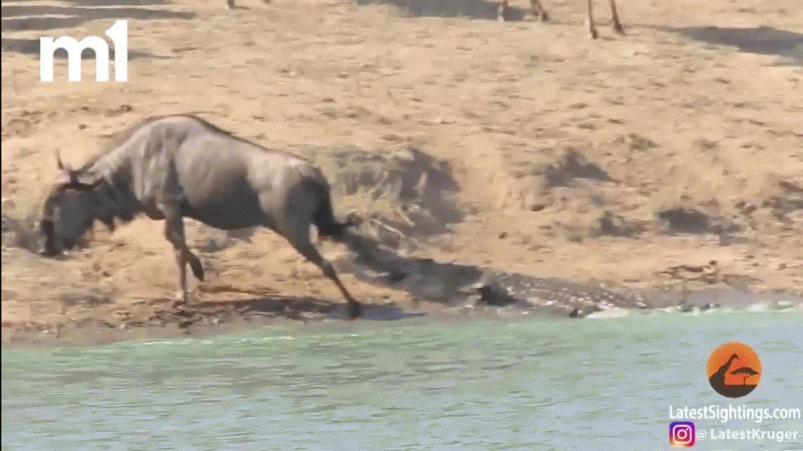 VIDEO: Brutal ataque de un cocodrilo a un ñu que es salvado por hipopótamos