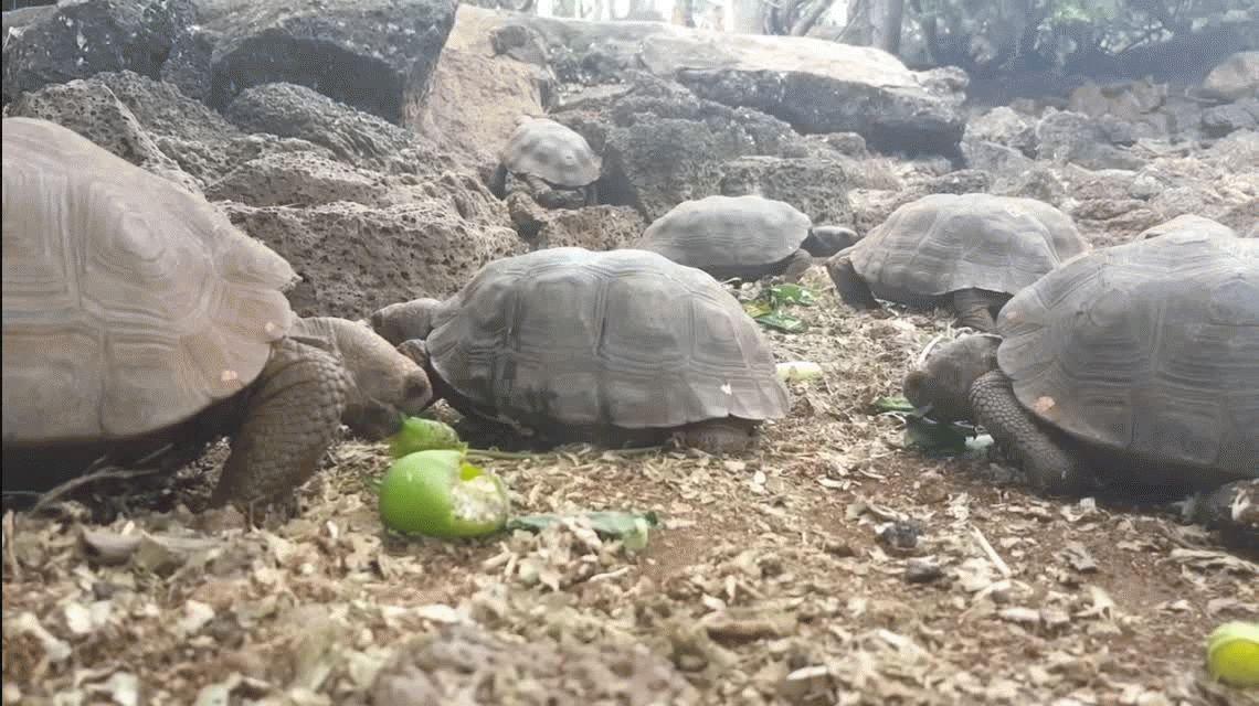 Recuperan en Galápagos una tortuga extinta hace 150 años