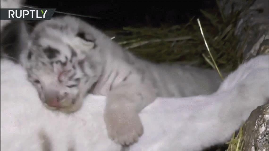 Derroche de dulzura: el momento de una tigresa de bengala junto a su cachorro