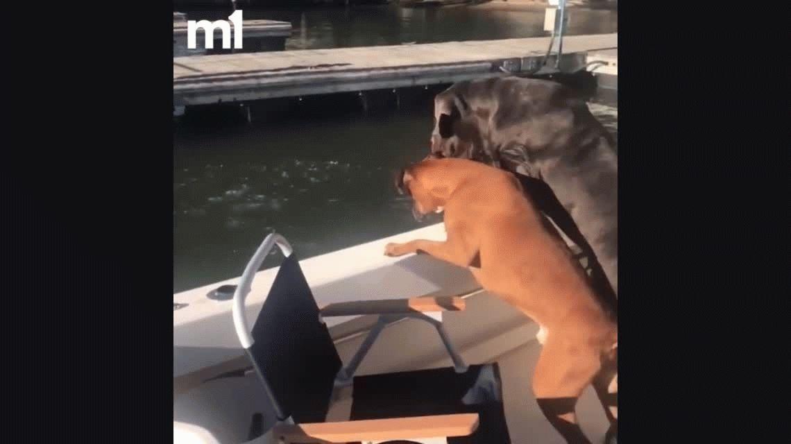 VIDEO: Un enorme perro tira a su dueño por la borda del barco