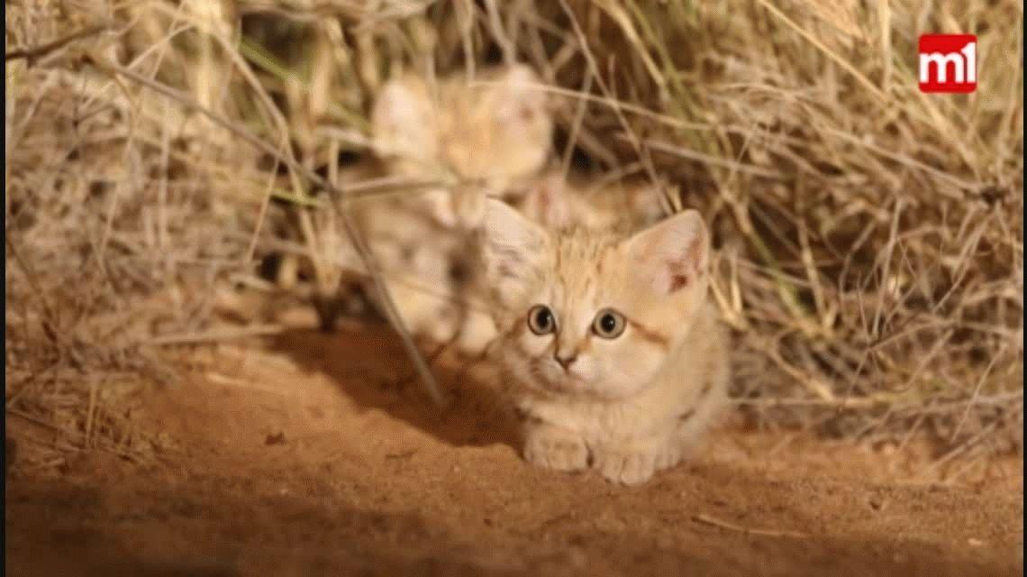Graban por primera vez a una camada de gatos de arena del Sahara