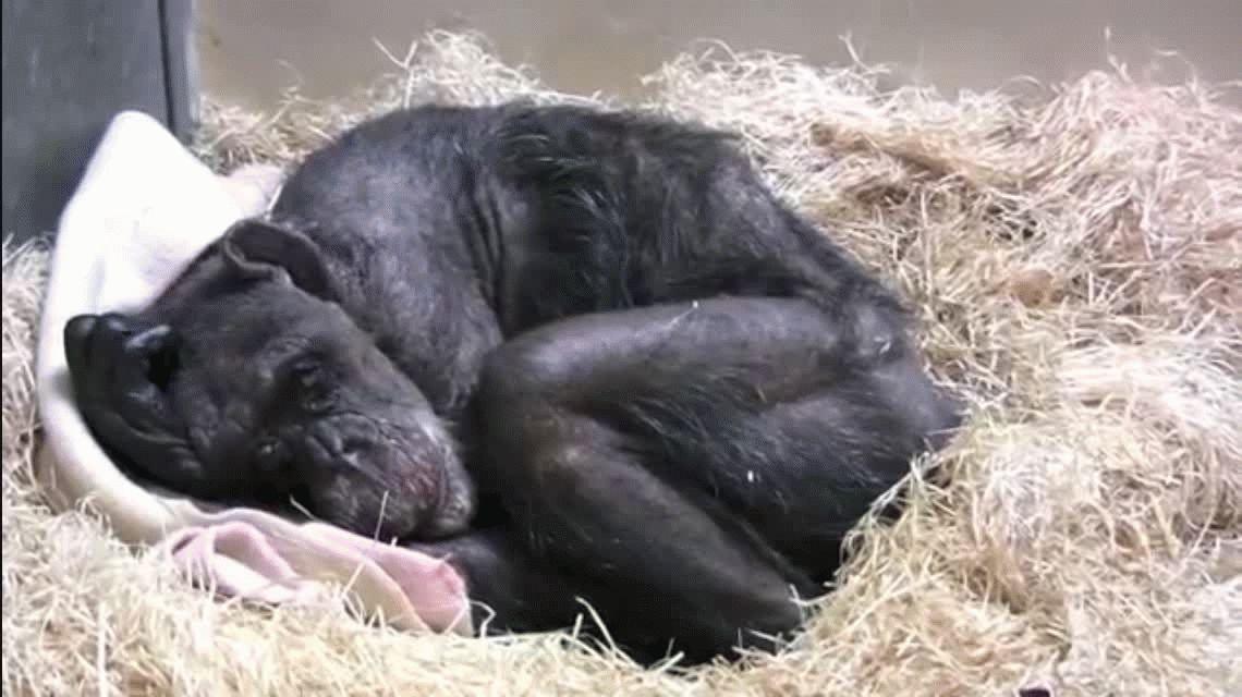 Vas a llorar: una chimpancé se despidió de su amigo antes de morir y se volvió viral