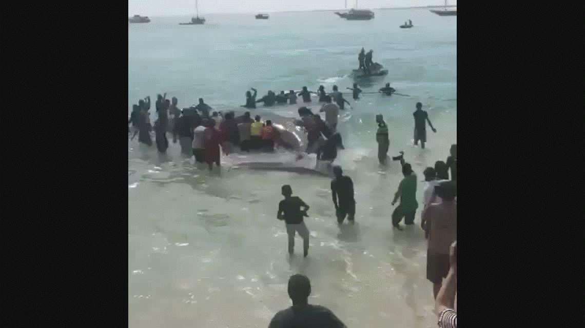 VIDEO: Rescatan a una ballena que estuvo encallada 19 horas en la costa de Brasil