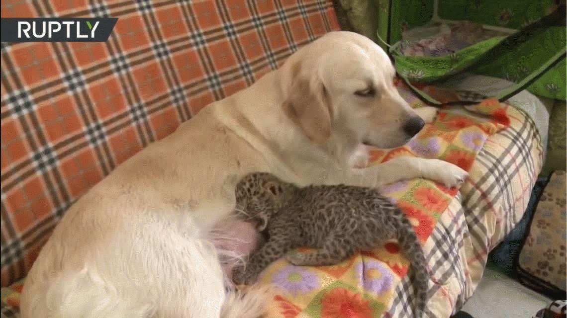 El video más tierno de una golden con su cachorro adoptivo: un leopardo