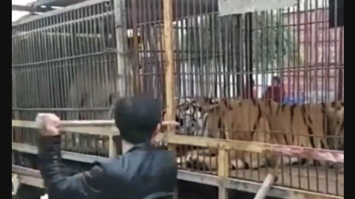 VIDEO: Fue mordido por un tigre luego de meter la mano en la jaula