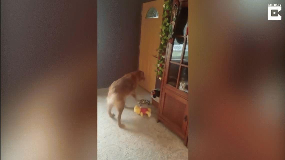 Derroche de ternura: la felicidad de un perro al recibir el mejor regalo de Navidad
