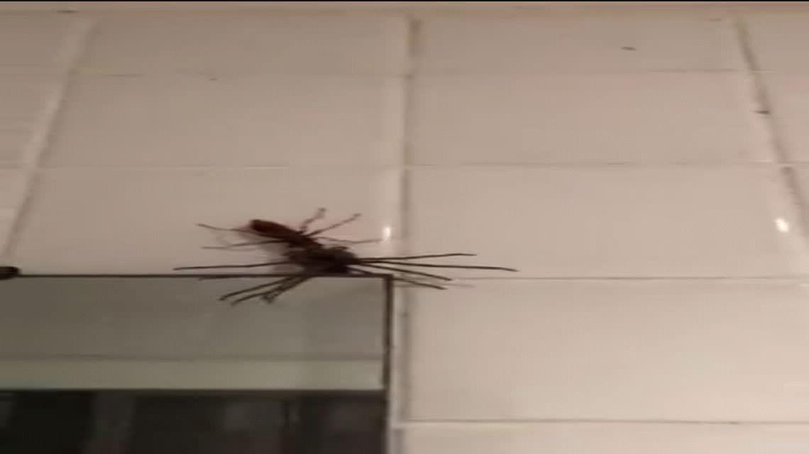 Nunca antes visto: una avispa caza a una araña de gran tamaño y se la lleva para la cena