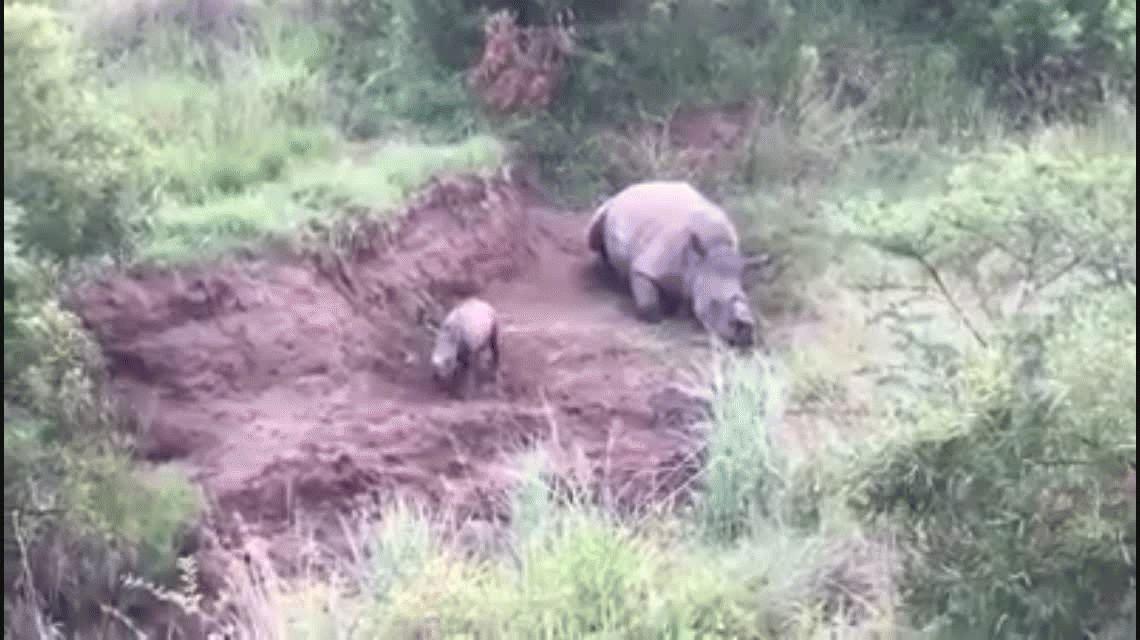 Un rinoceronte bebé intenta mamar de su madre asesinada por cazadores