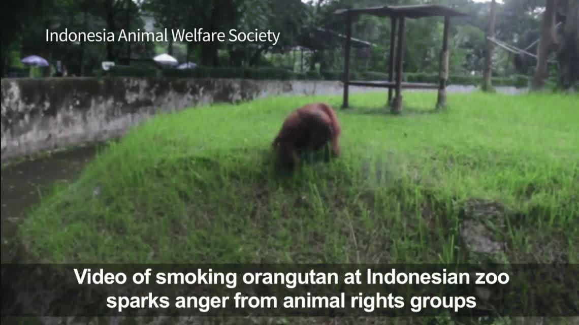 Polémica en Indonesia por un orangután que fuma en un zoológico