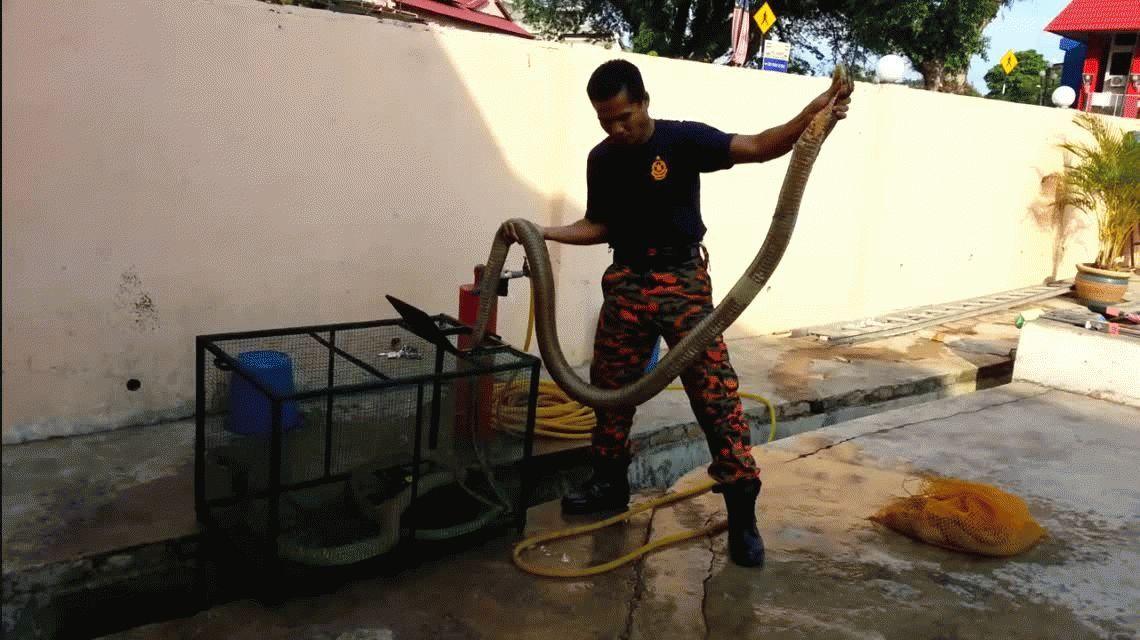 El encantador de serpientes más famoso del mundo murió mordido por una cobra