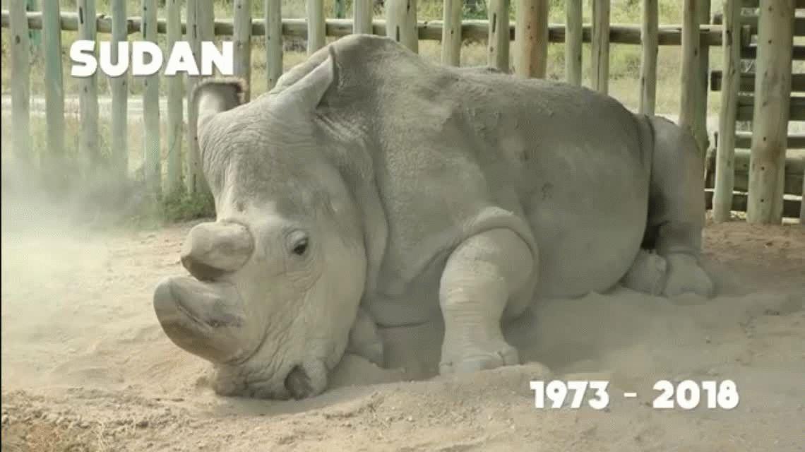 Kenia: murió el último rinoceronte blanco macho del mundo