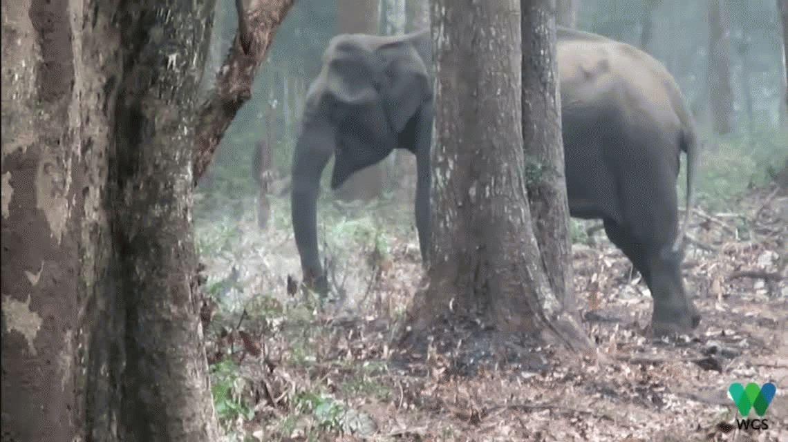 Prohibido arrojar la colilla: encuentran a un elefante fumando en la selva