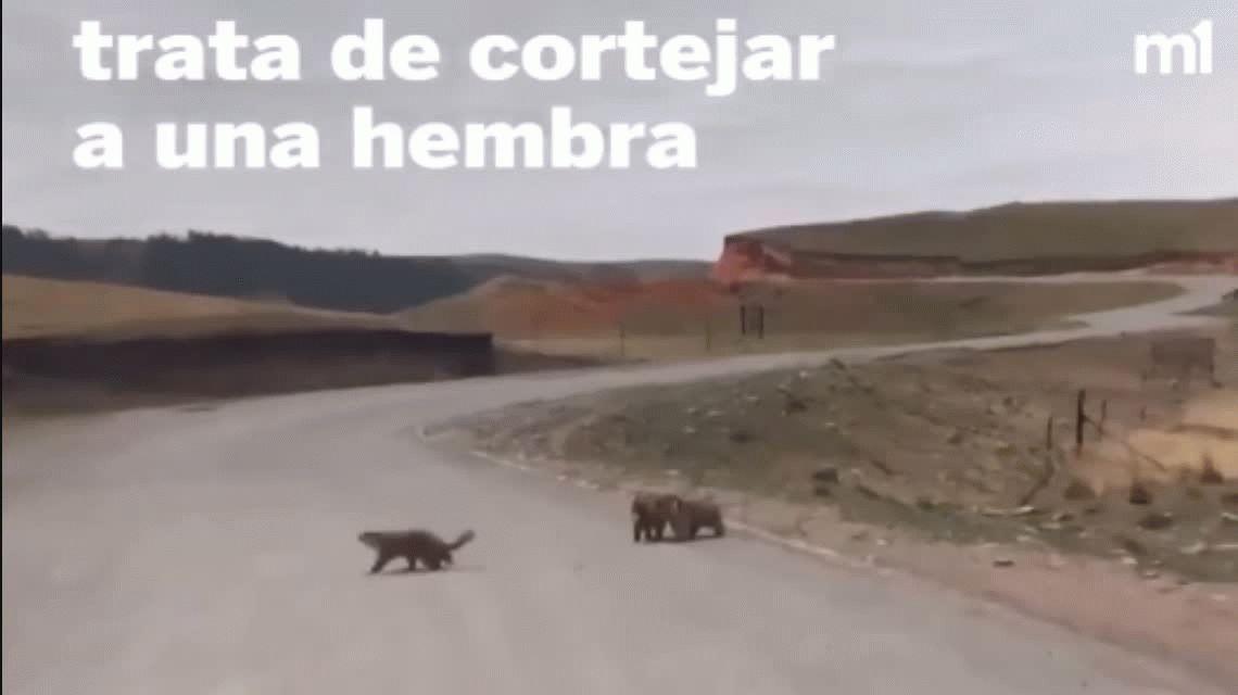 La cosa se puso peluda: el video de dos marmotas peleando en la ruta es un hit