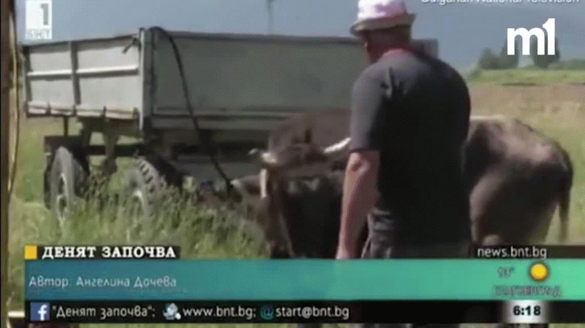 ¡Insólito! Quieren sacrificar a una vaca porque pasó un alambrado y cambió de país