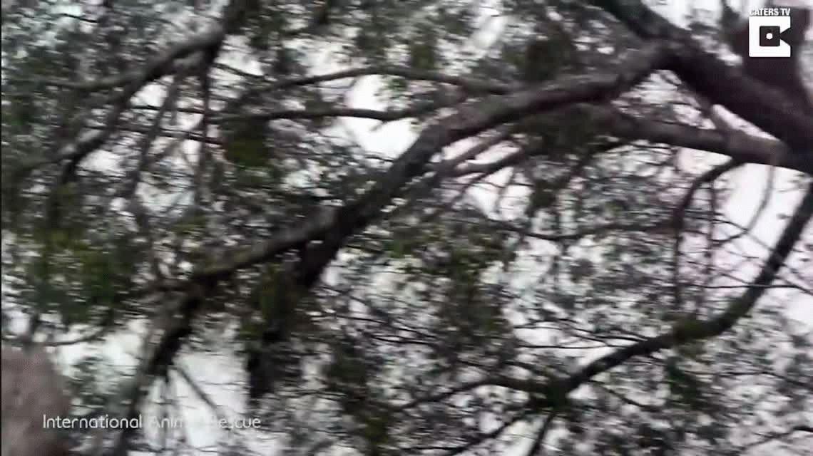 VIDEO: Un orangután lucha contra una excavadora que destruye su hábitat