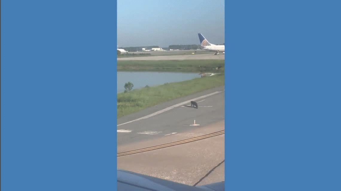 VIDEO: Un caimán hizo detener un avión cuando llegaba a la pista de aterrizaje