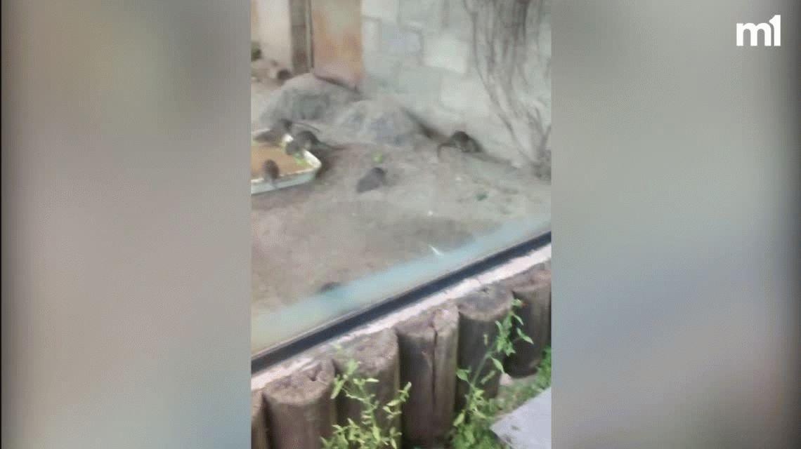 Ratas, cucarachas e infección: la decadencia del Ecoparque porteño
