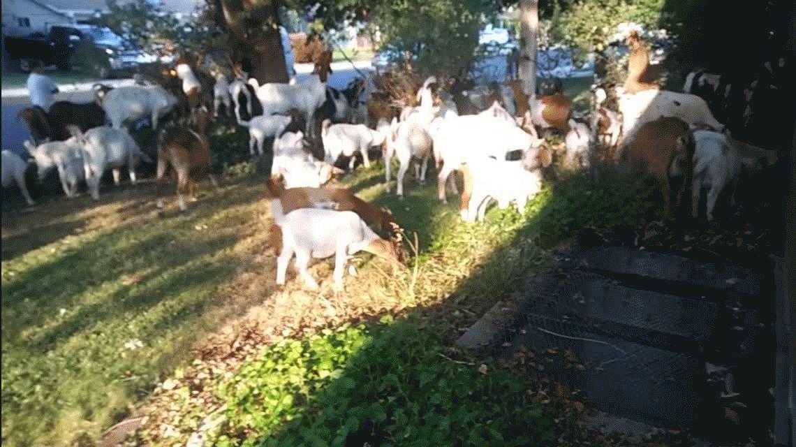 Alquilaron cabras para cortar el pasto pero todo terminó en una invasión animal