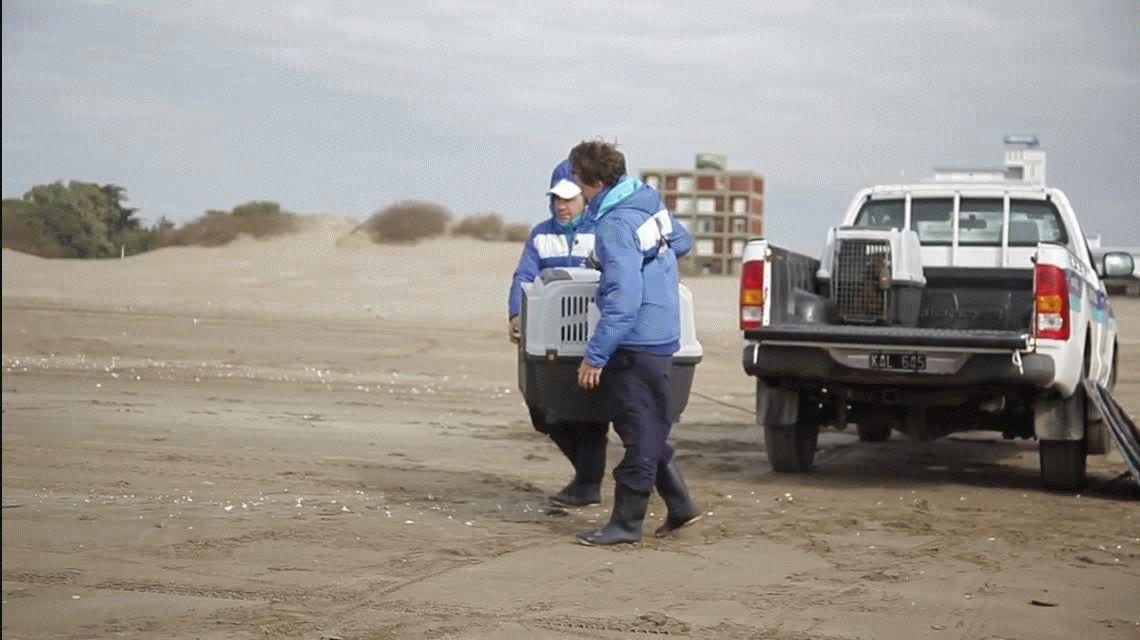 Devolvieron al mar a cuatro lobos marinos que estaban desnutridos