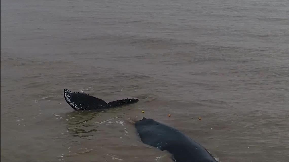 VIDEO: Rescataron a una ballena que había quedado atrapada en una red de pesca