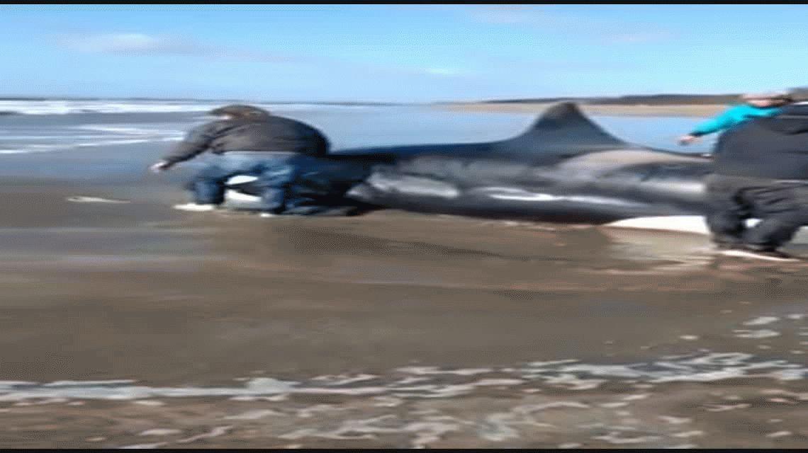 Una orca encallada sorprendió a todos en la Costa Atlántica