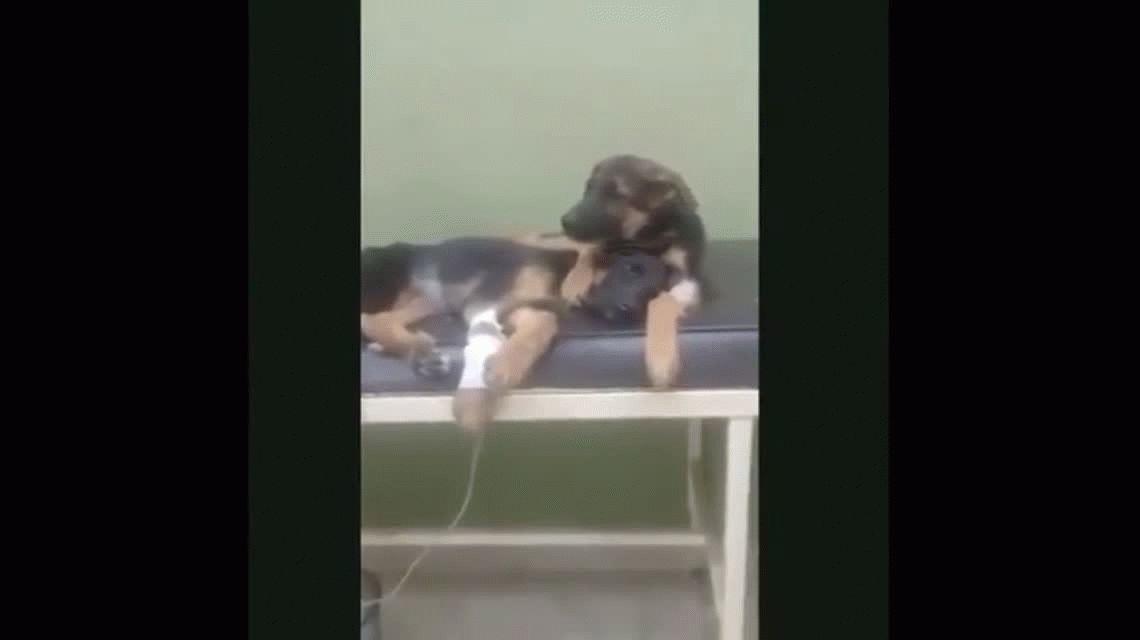 VIDEO: Un perrito se quedó cuidando a su hermanita mientras estaba internada