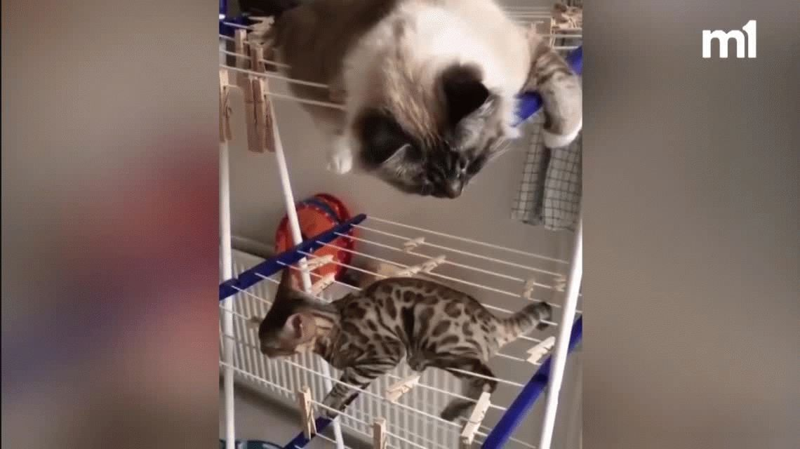 VIDEO: Dos gatos intentan hacer equilibrio en un tender y su lucha se hizo viral