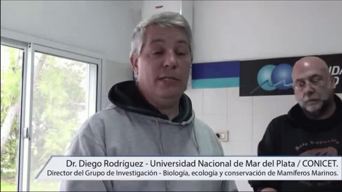 Intentan descubrir por qué hay cada vez más lobos marinos desnutridos en la costa atlántica
