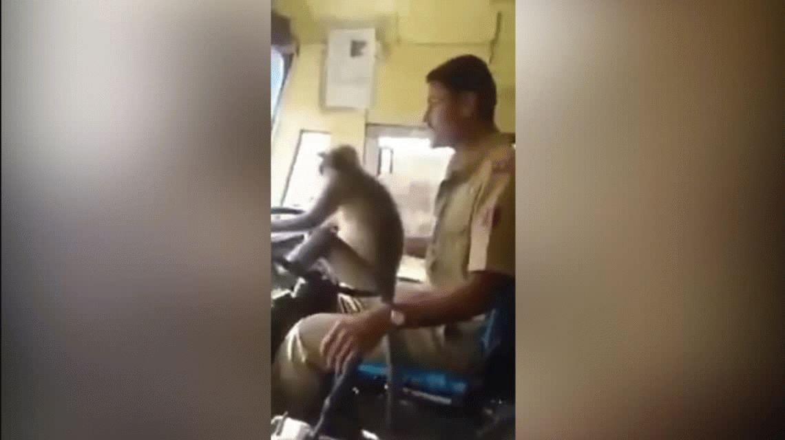 Estupor en India por un mono que manejó un colectivo con pasajeros