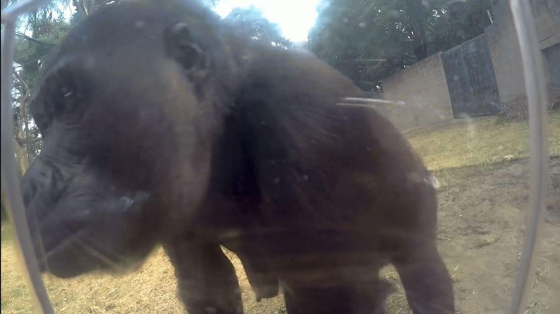 Dos gorilas encontraron una cámara en su hábitat del zoológico y se convirtieron en estrellas del streaming
