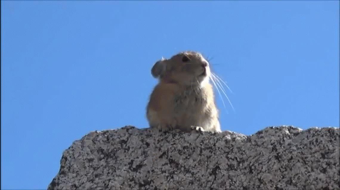 Creer o reventar: furor en las redes por el roedor que imita a Freddy Mercury