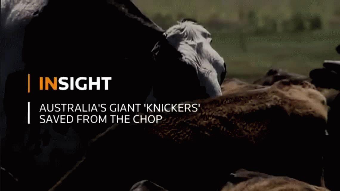 Un toro gigante se salvó del matadero porque mide dos metros