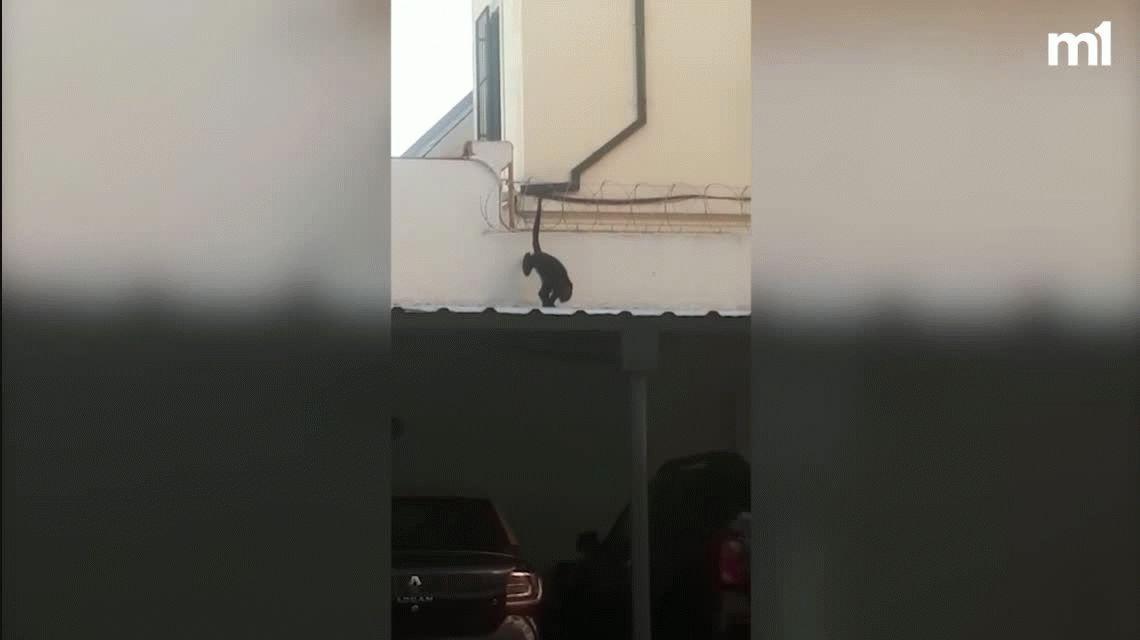 Un mono corriendo por los techos asustó a todos en el barrio de Coghlan