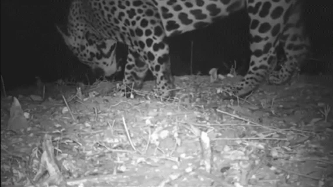 VIDEO: Por primera vez filmaron a un yaguareté en el Parque Nacional El Impenetrable de Chaco