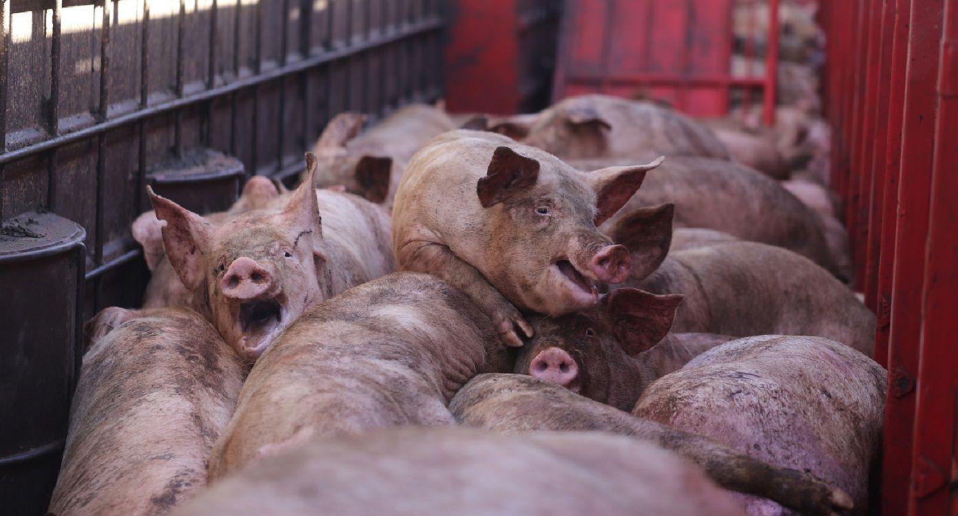 Los cerdos estuvieron encerrados en el camión durante más de diez horas. Foto: Malena Blanco para Voicot.