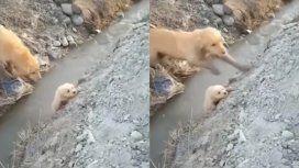 La desesperación de una perra por su cachorro a punto de caer al río