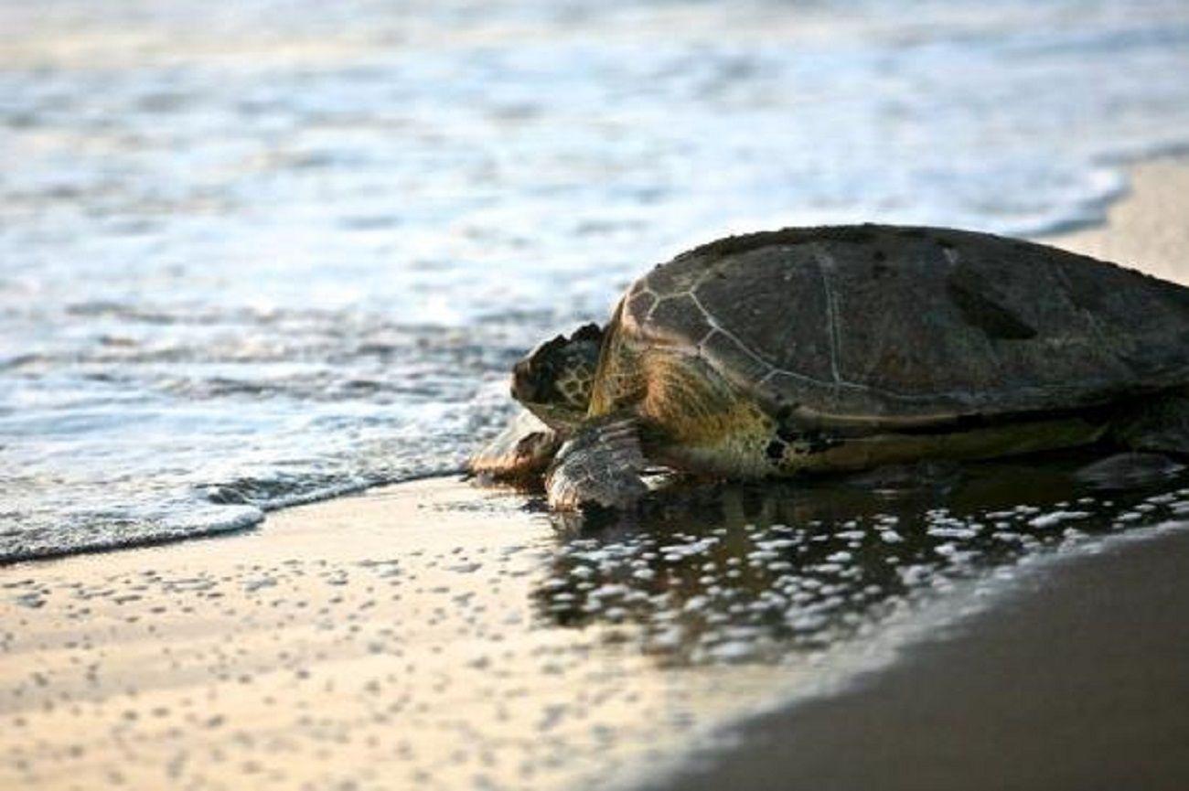 VIDEO: Una tortuga rescatada en San Clemente expulsó gran cantidad de basura de su cuerpo