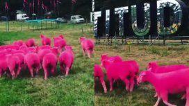 Organizadores de un festival tiñeron ovejas de fucsia para promocionar un evento