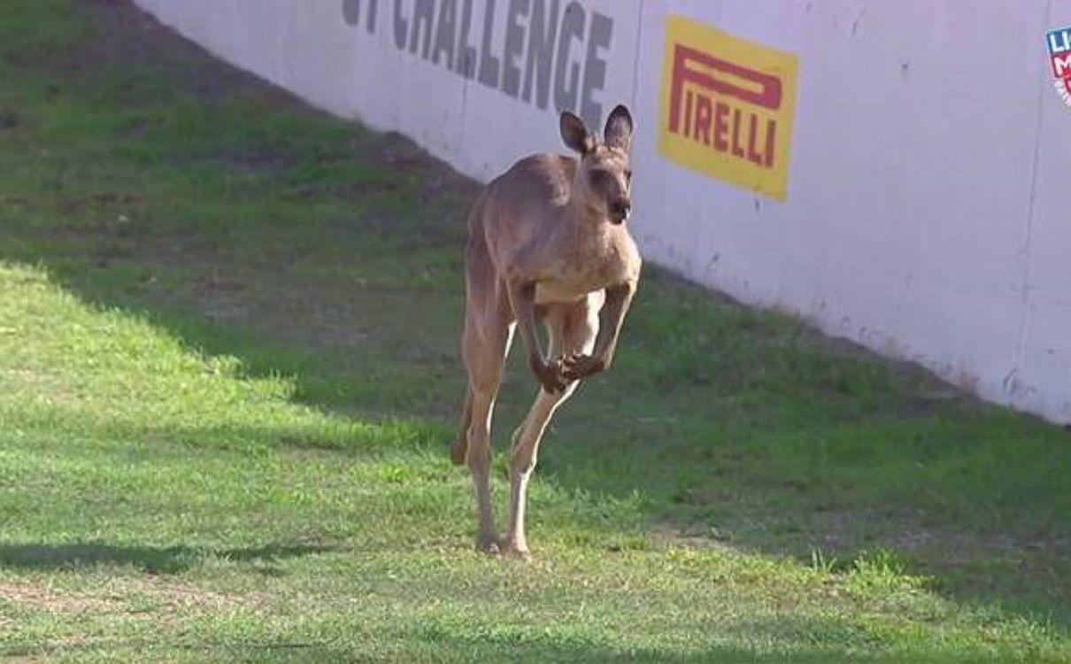 VIDEO: Unos canguros invadieron la pista en una carrera de autos en Australia