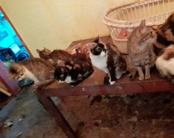 Murió una mujer que vivía con 50 gatos: les buscan un hogar