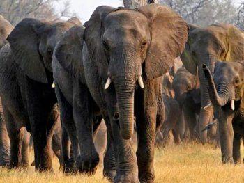 Una manada de elefantes arrasó una plantación de bananas pero dejó en pie la que tenía un nido lleno de pajaritos bebés