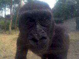 Gorilas con Covid-19